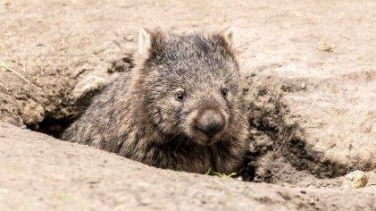 """Las historias sobre wombats """"héroes"""" en Australia son falsas: cómo ayudan realmente"""