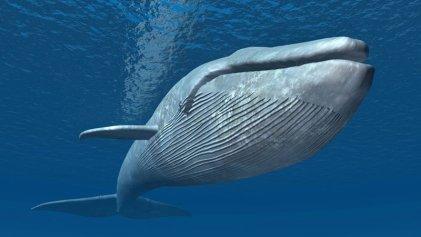 Sobreviviré: el resurgir de las ballenas tras la suspensión de la caza comercial